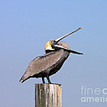 Pelican Yawn by Al Powell Photography USA