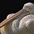 Pelicano by Joachim G Pinkawa