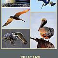 Pelicans by AJ  Schibig