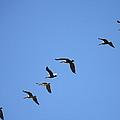 Pelicans All In A Row by Carol Groenen