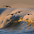 Pelicans And Wave 73a2308-2 by David Orias