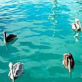 Pelicans by Armani Ballesteros
