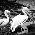 Pelicans - Bw by Beth Vincent