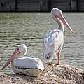 Pelicans By The Pair by Ella Kaye Dickey