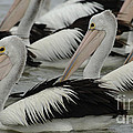 Pelicans Galore by Bob Christopher