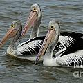 Pelicans In Australia 3 by Bob Christopher