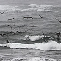 Pelicans Lunching At Ft. Stevens Oregon by Tom Janca