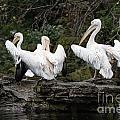 Pelicans by Matt Malloy