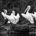 Pelicans Mono by Matt Malloy