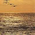 Pelicans Ocean And Sunsetting by Tom Janca