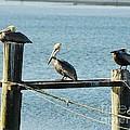Pelicans On A Break by Mel Steinhauer