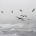 Pelicans On A Windy Foggy Day On The Oregon Coast by Tom Janca
