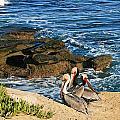 Pelicans On The Cliff - La Jolla Cove by Gabriele Pomykaj