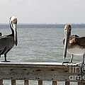 Pelicans On The Pier At Fort Myers Beach In Florida by William Kuta