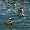Pelicans On The Water In Key West by Randall Nyhof
