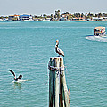 Pelicans Rule by Aimee L Maher ALM GALLERY