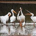 Pelicans Singing Auld Lang Syne by Tom Janca