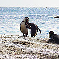 Penguins Kissing At Boulders Beach Cape Town by Charl Bruwer