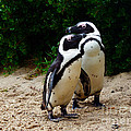 Penguins On Beach At Boulders Beach Cape Town by Charl Bruwer