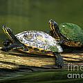 Peninsula Cooter Turtles by David N. Davis