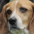The Beagle Named Penny by Valerie Collins