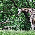 Pensive Giraffe by Alice Gipson