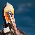 Pensive Pelican by Dale Nelson