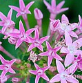 Pentas 'cranberry Punch' Flowers by Optical Playground By MP Ray