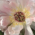 Peonie In Soft Pink by Deborah Benoit
