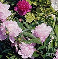 Peonies In Pinks by Laurie Eve Loftin