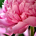 Peonies In The Pink by Deb Halloran