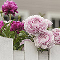 Peonies On A Picket by Karen Forsyth