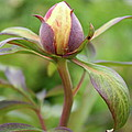 Peony Bud by Christiane Schulze Art And Photography