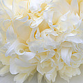 Peony Close-up In Pale by Leda Robertson