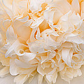 Peony Close-up In Peach by Leda Robertson