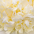 Peony Close-up In Yellow by Leda Robertson