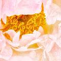 Peony Flower by Joe Mamer