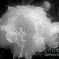 Peony Flower Phases Black And White Contrast by Smilin Eyes  Treasures