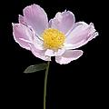 Peony Flower Portrait by Jennie Marie Schell