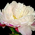 Peony In Repose by Kristina Deane