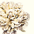 Peony by Marcia Colelli