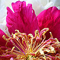 Peony Painterly by Karen Adams