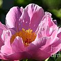 Peony Pink by Susan Herber