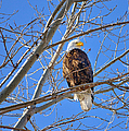 Perched Bald Eagle by Greg Norrell