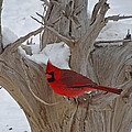 Perched Cardinal by Greg Boutz