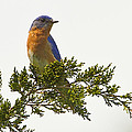 Perched Eastern Bluebird by John Vose