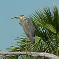 Perched Heron by Cynthia N Couch