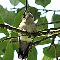 Perched Hummingbird by Lizi Beard-Ward