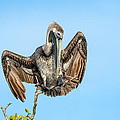 Perched Pelican by Cheryl Schneider
