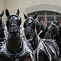 Percheron Horse Team 2008